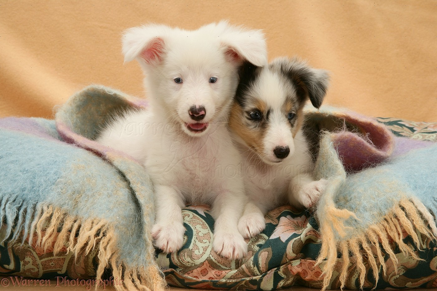 Shetland Sheepdog pups photo - WP14612