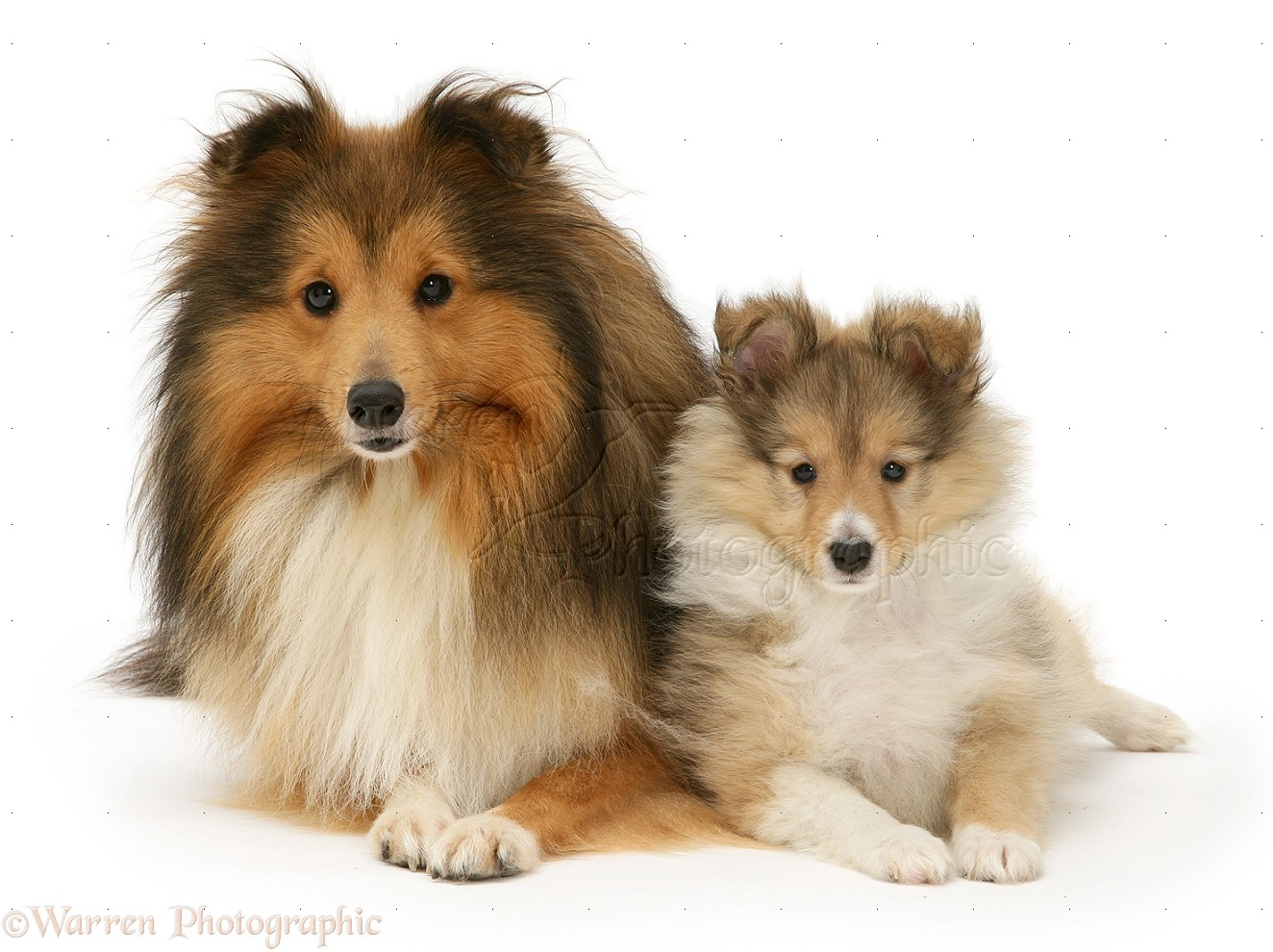 Sable Shetland Sheepdog Sheltie And Pup Photo Wp14660