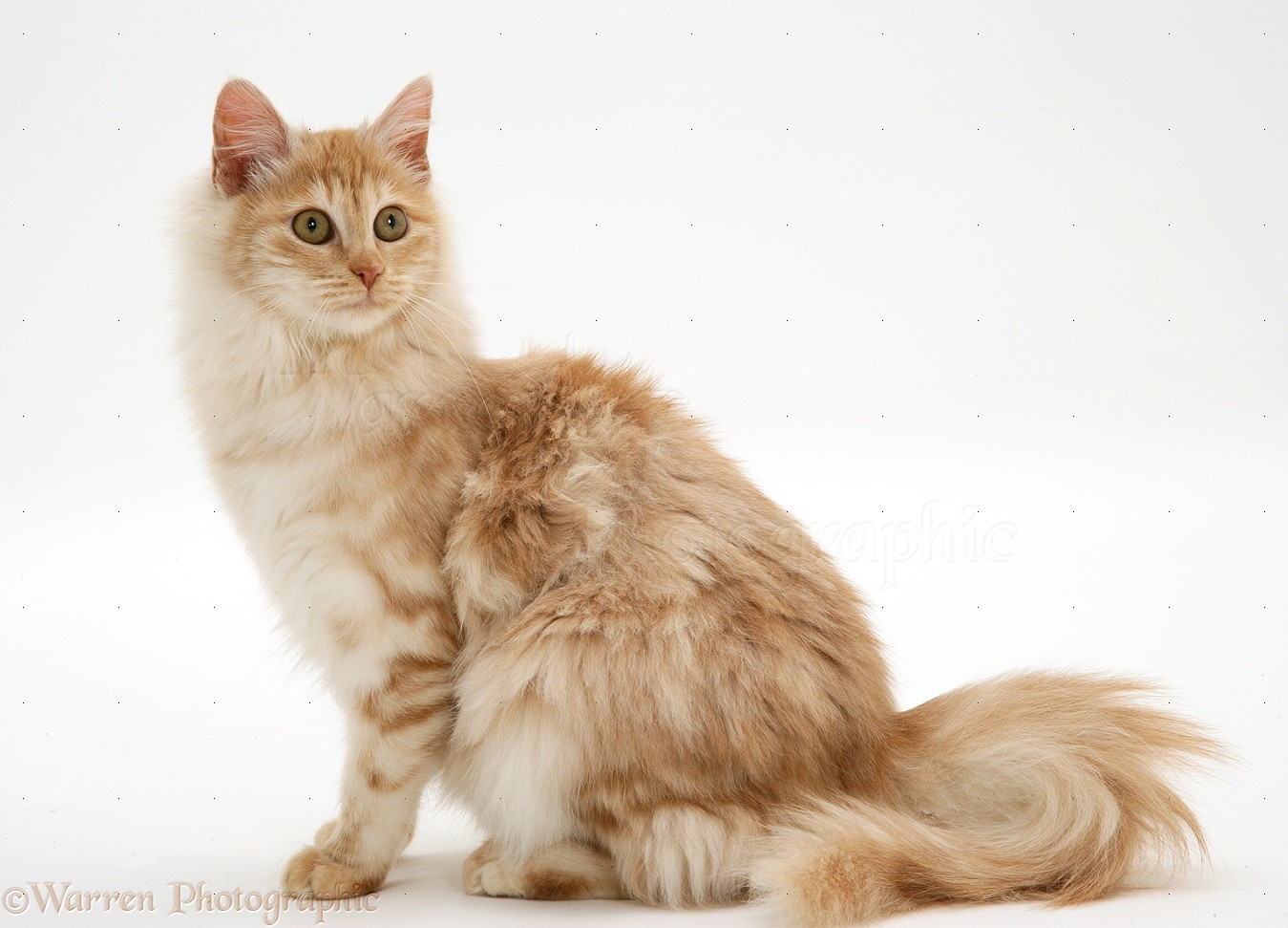 Red Silver Turkish Angora Cat Photo Wp14738
