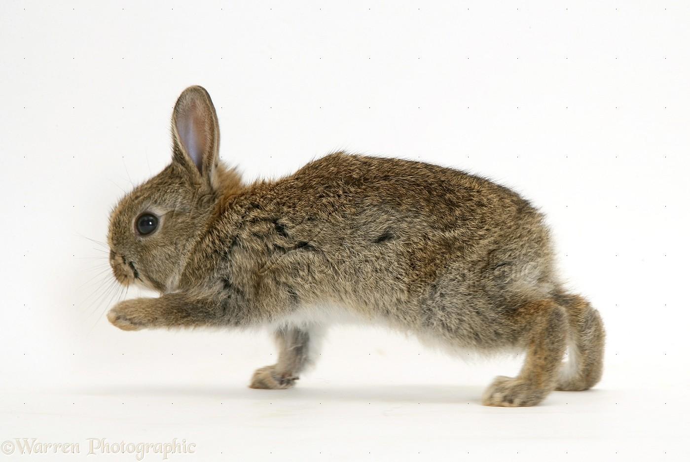 baby european rabbit photo wp14817