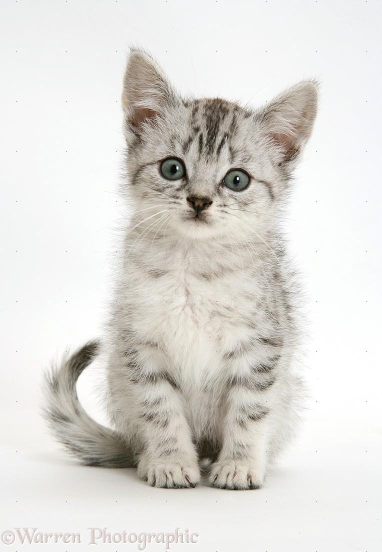 Bengal Cat Uk
