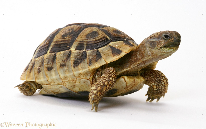 baby hermann s tortoise photo wp14824 turtles clipart jpg file turtles clipart jpg file