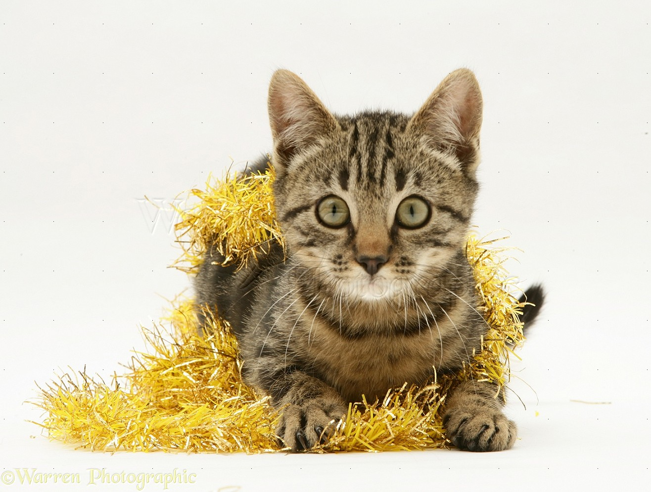 brown tabby kitten with gold tinsel photo wp14840