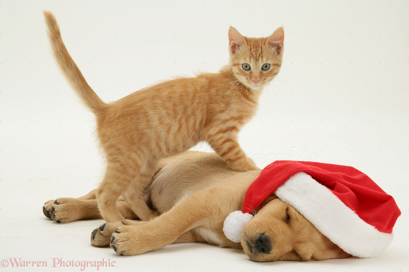 pets ginger kitten and retriever pup asleep with santa hat photo
