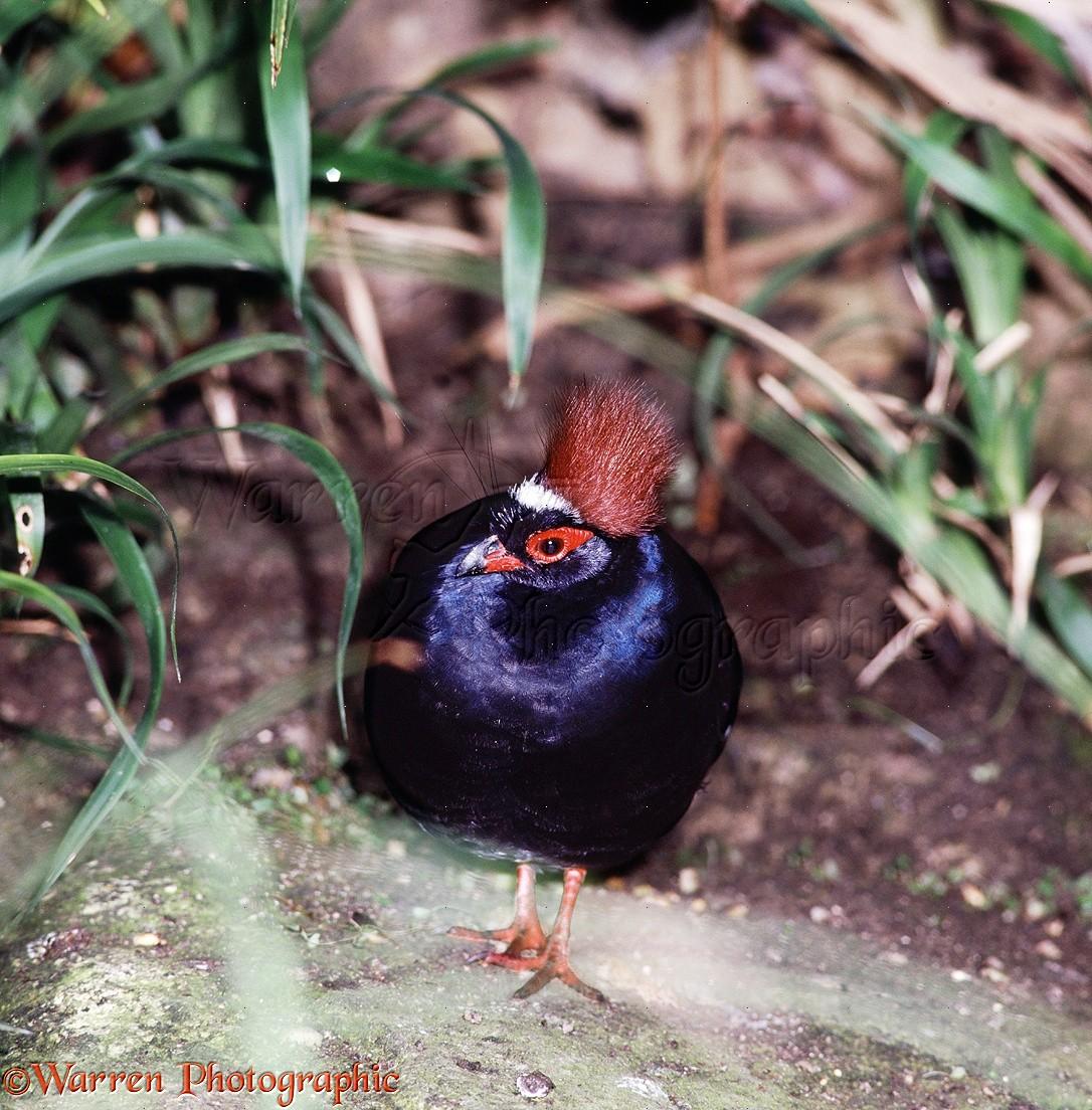 WP14862 Roulroul Partridge ( Rollulus roulroul ). SE Asia .