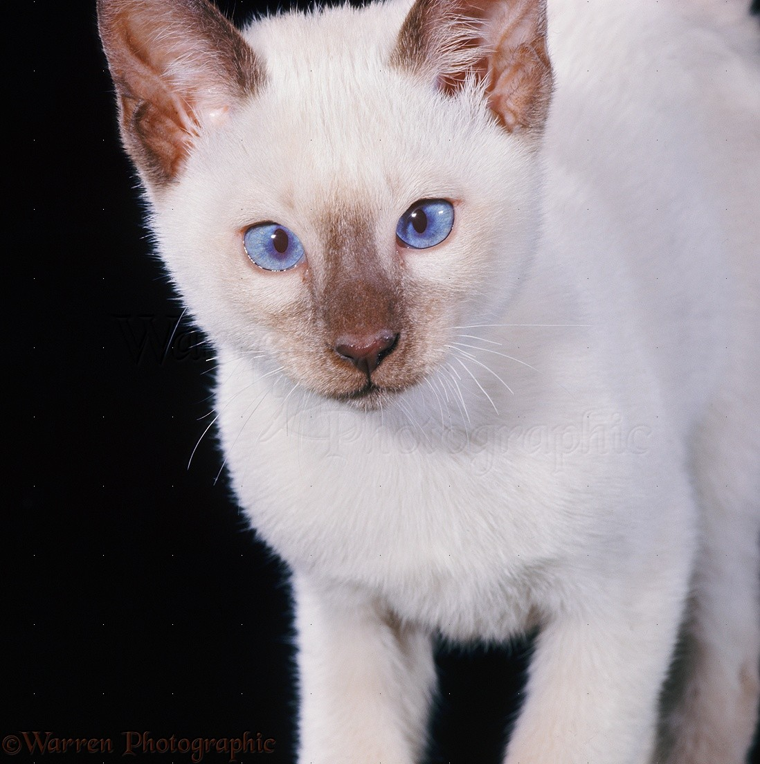 Chocolate-point Siamese kitten, 11 weeks old photo - WP14876