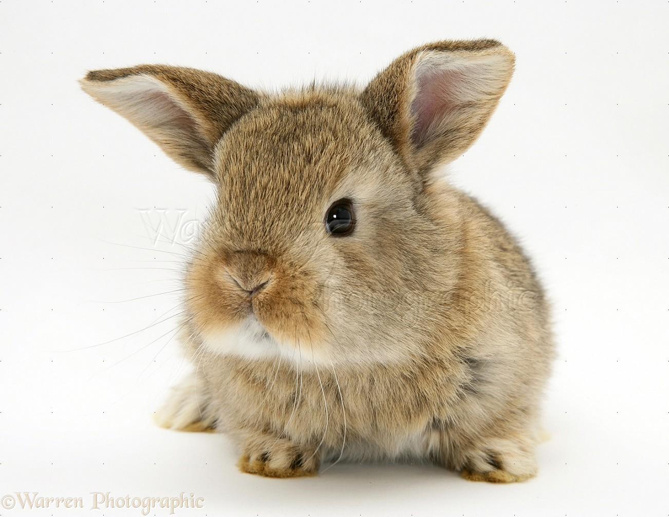 Baby agouti Lop rabbit photo WP14894