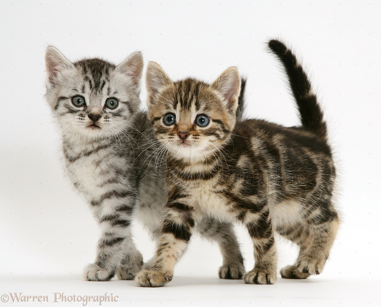 silver and brown tabby kittens photo wp14934