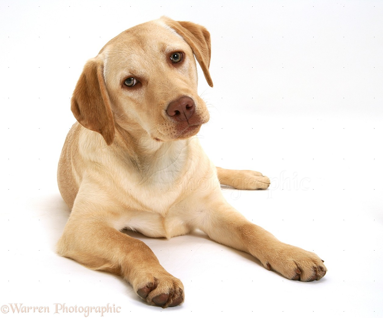 Picture Of A Yellow Lab Dog