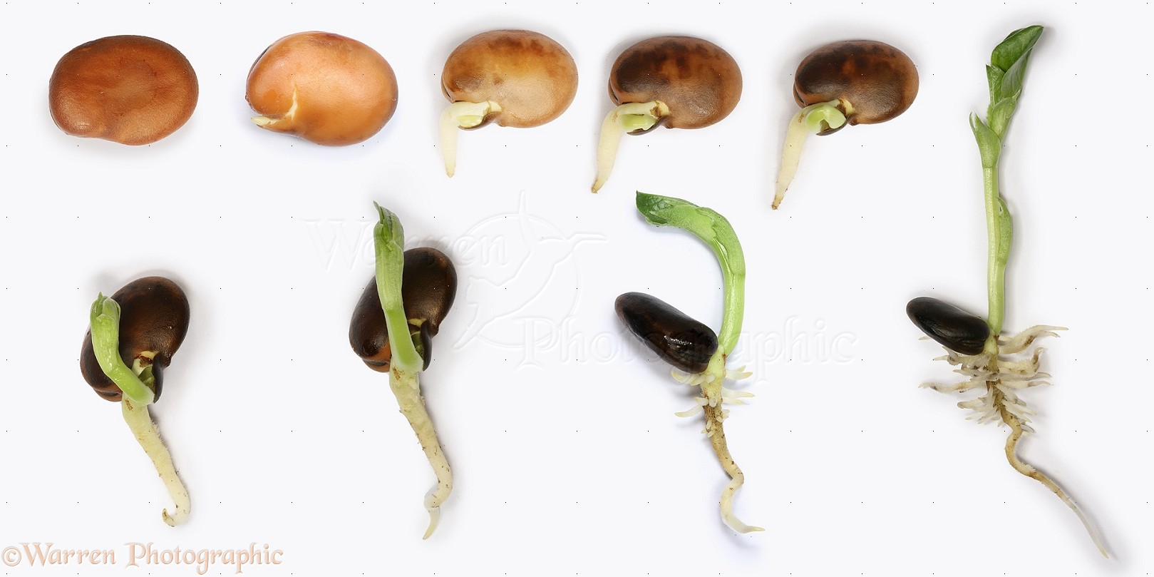 Germination Of A Broad Bean Seed Resume Format Examples 2016