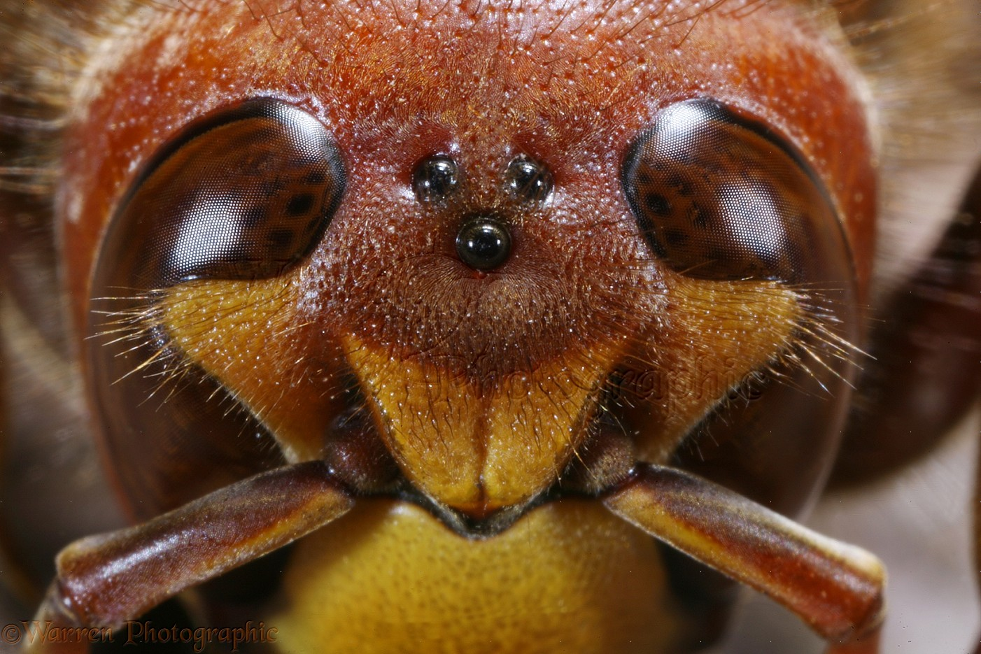 WP14973 European Hornet   Vespa crabro   head of queen showing ocelli