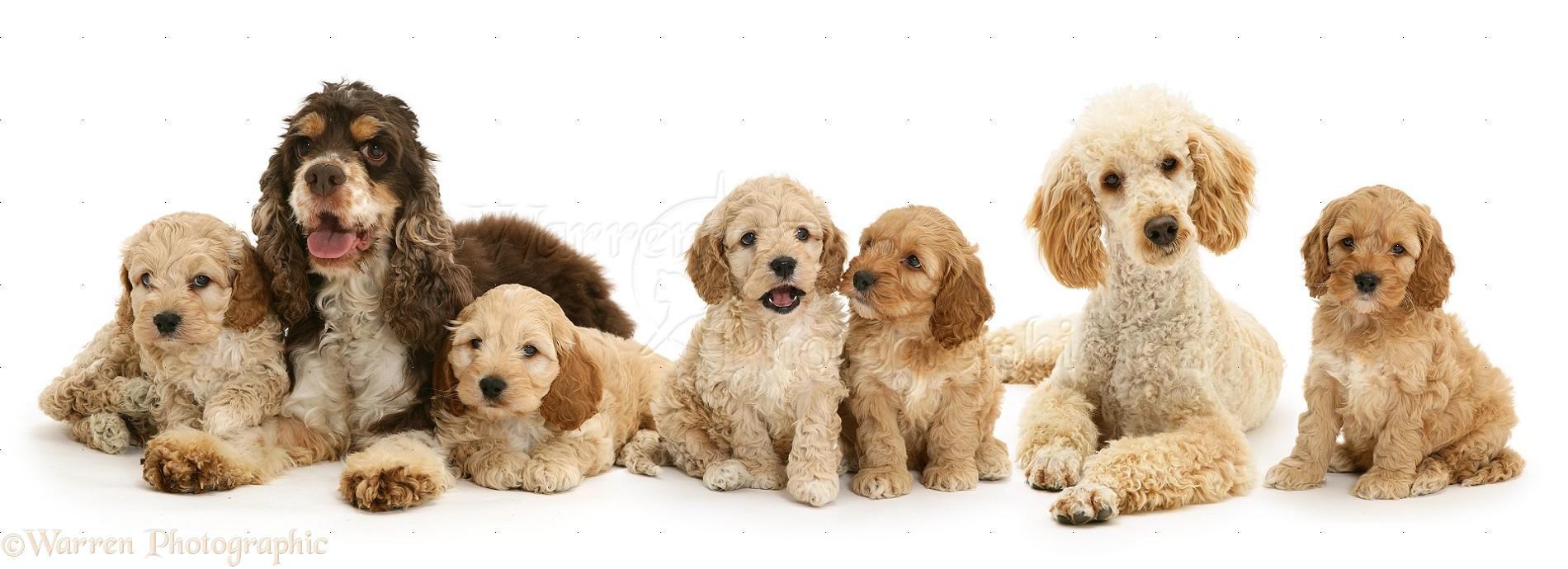 Dogs: Cockapoo family photo WP15002