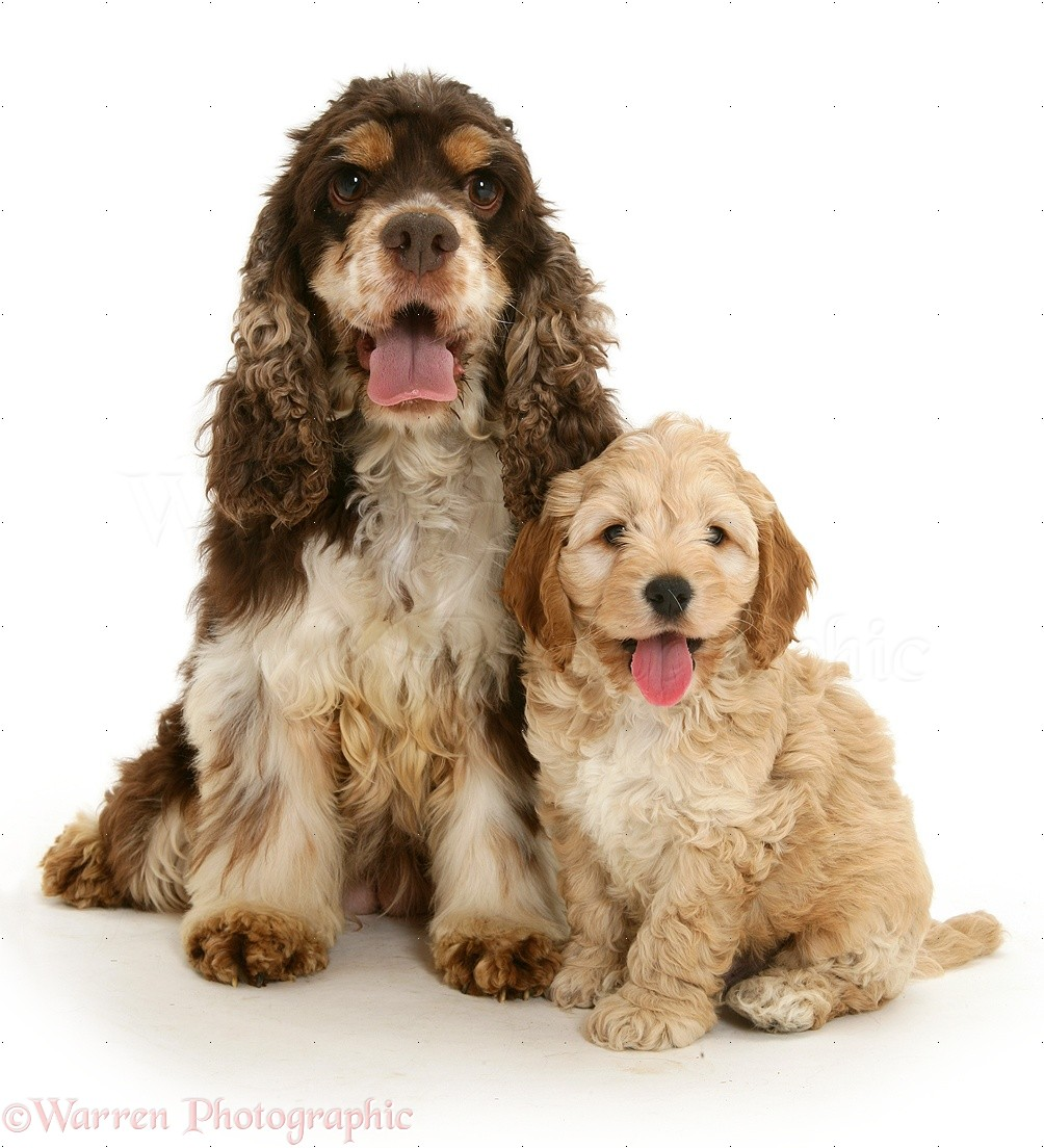 American Cocker Spaniel Mother With Cockapoo Puppy White Background What Is The Difference Between