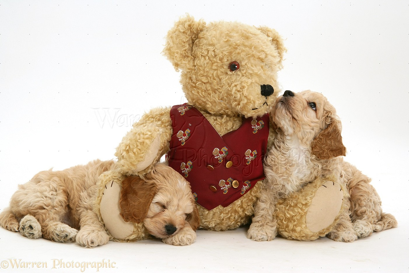 Dogs American Cockapoo Puppies With A Teddy Bear Photo Wp15031
