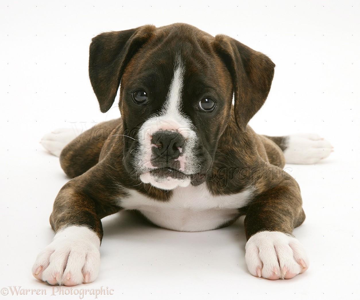 Dog: Brindle Boxer pup photo WP15051