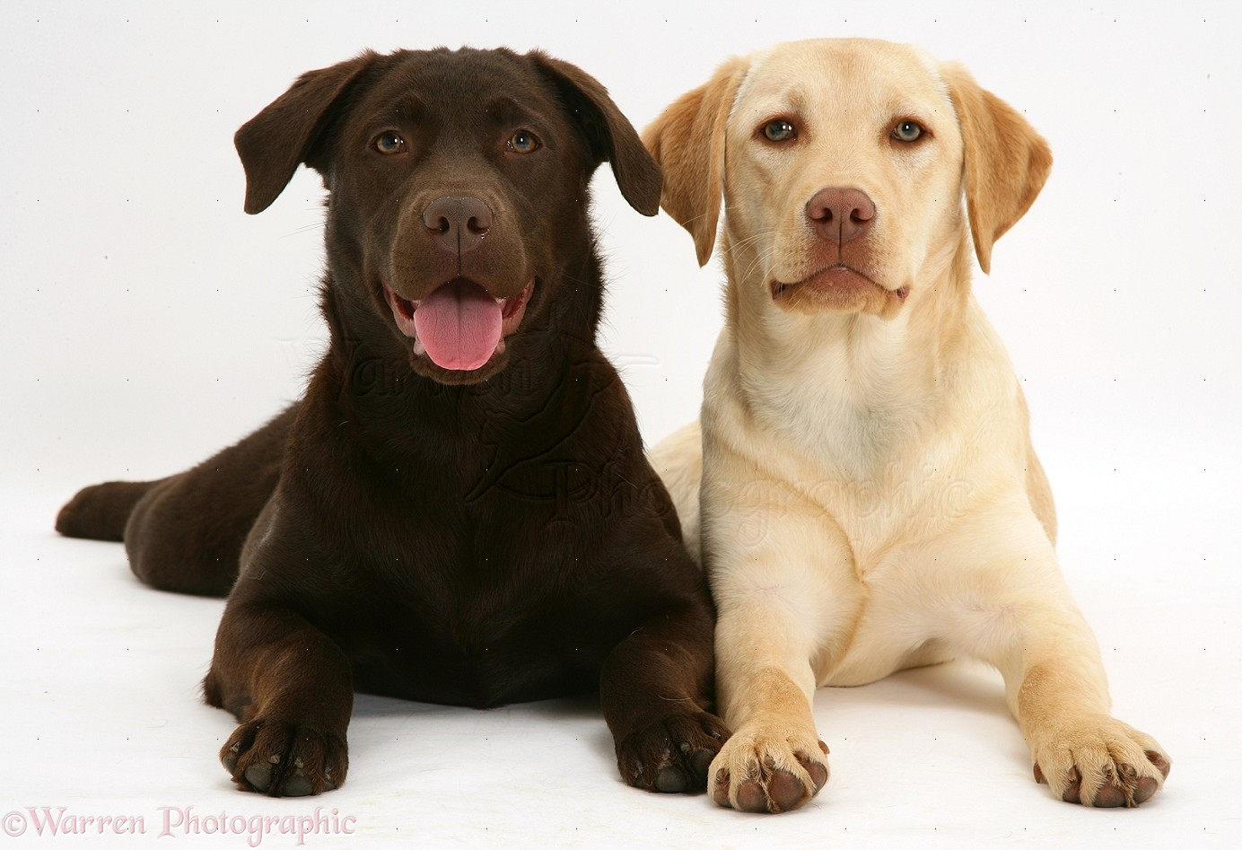 Labrador Retrievers Chocolate Labrador Retrievers Yellow LabradorWhite And Yellow Labrador Retriever