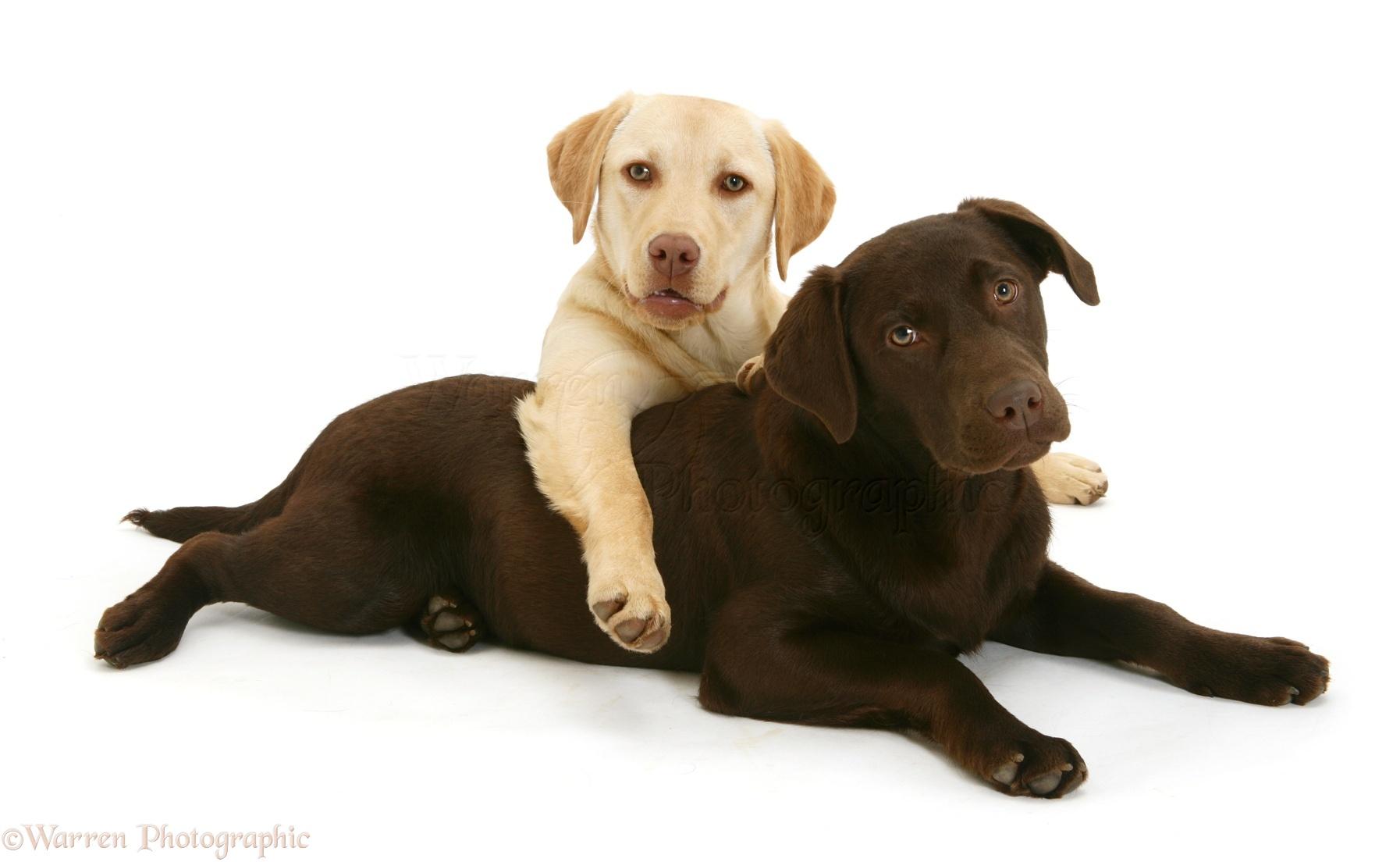 Dogs: Yellow and chocolate Labrador Retrievers photo - WP15063