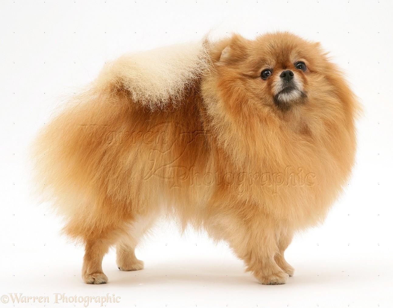 Red Pomeranian dog photo WP15097