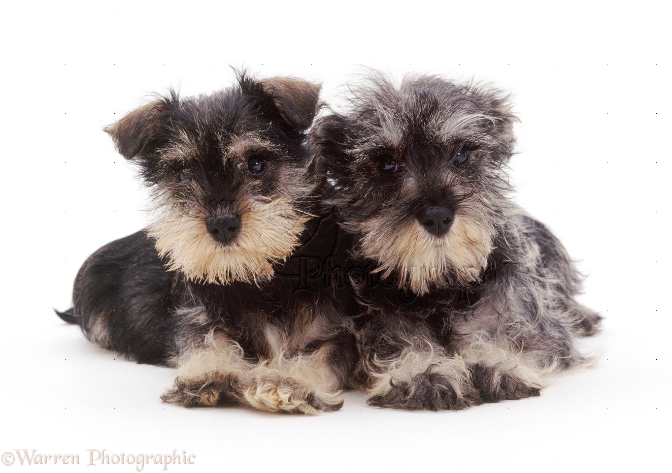Dogs: Miniature Schnauzer pups, 8 weeks old photo WP15124