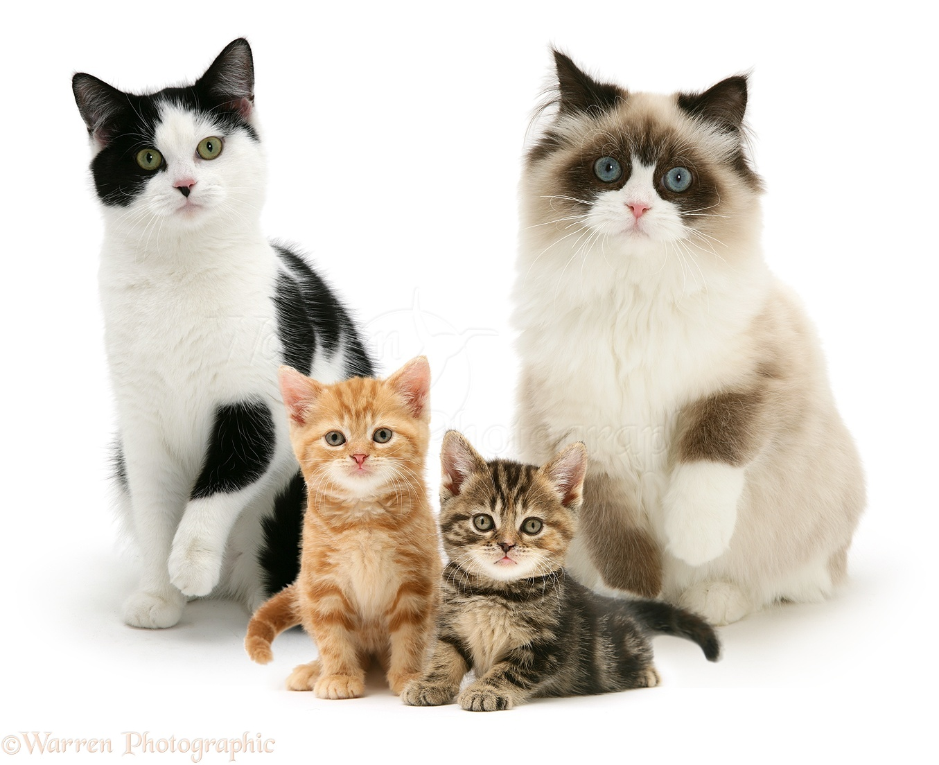 Integrating Kittens with Cats - W. V. Cats: Help