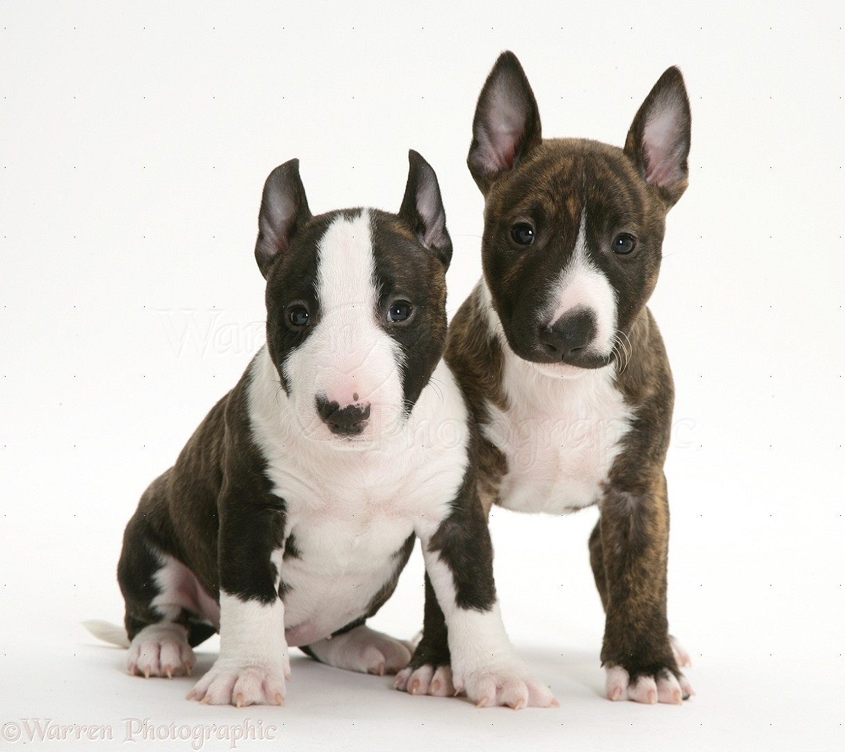 Vidio By Gg213 Huckle Butting English Bull Terriers