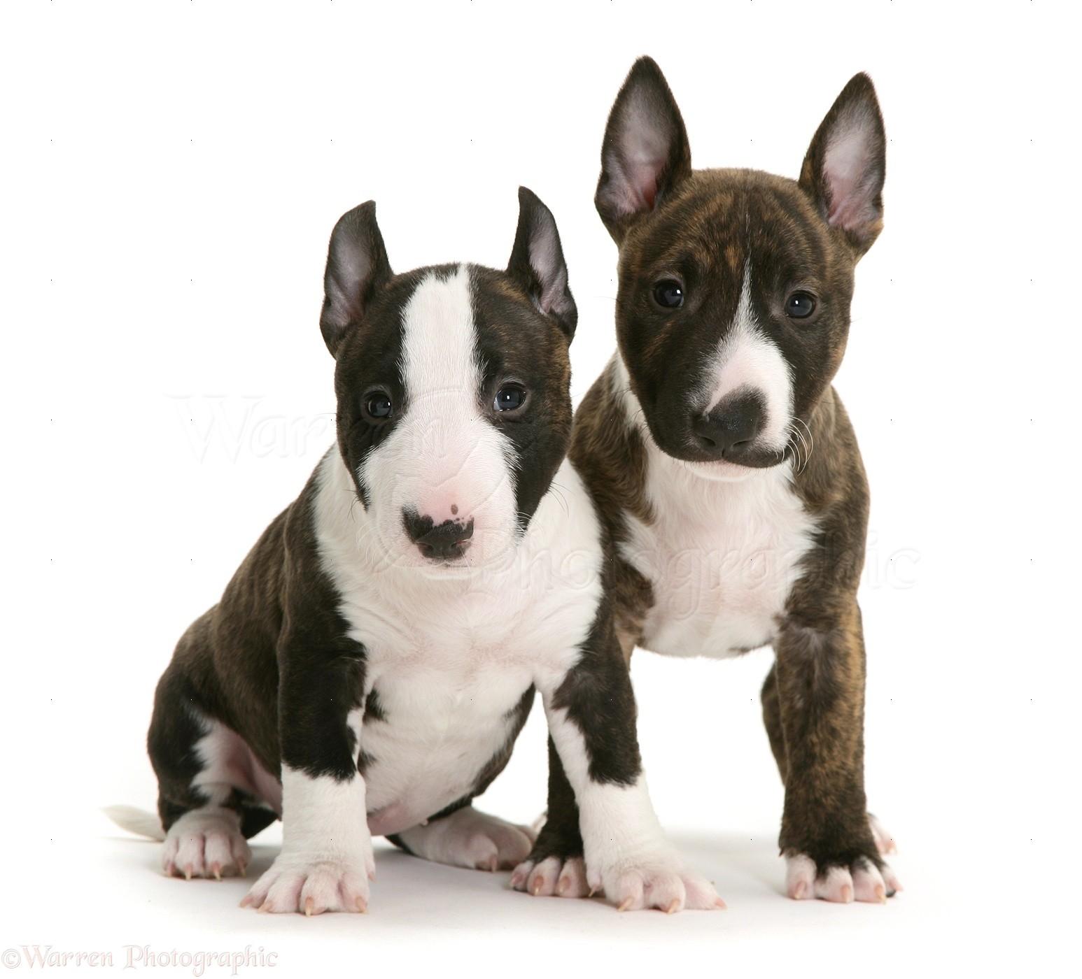 Bekend Dogs: Miniature English Bull Terrier pups photo WP15200 JL77