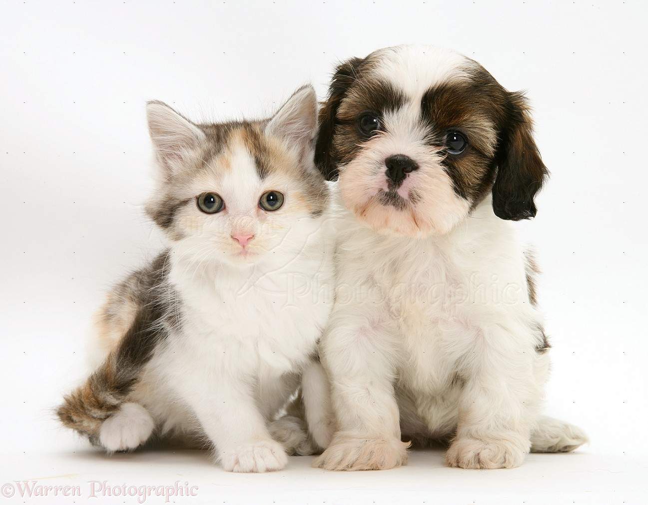 ... Shih-Tzu) pup with silver tortoiseshell-and-white Maine Coon kitten