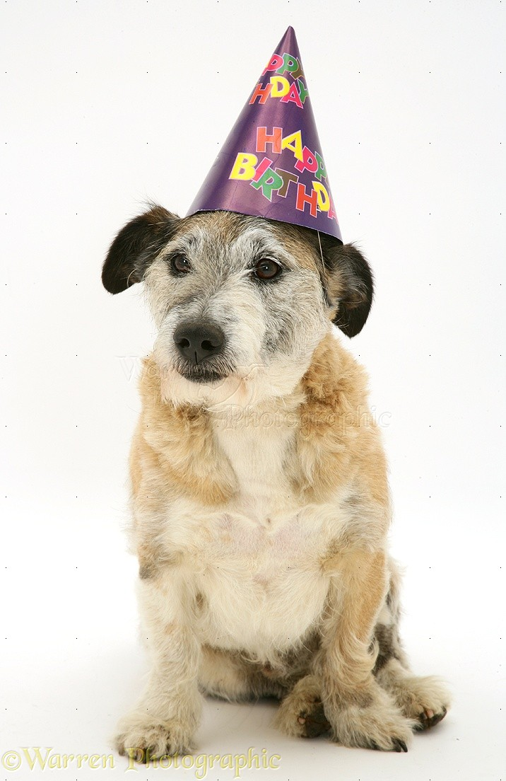 WP15215 Patterdale X Jack Russell Terrier Dog Jorge Wearing A Happy Birthday Hat