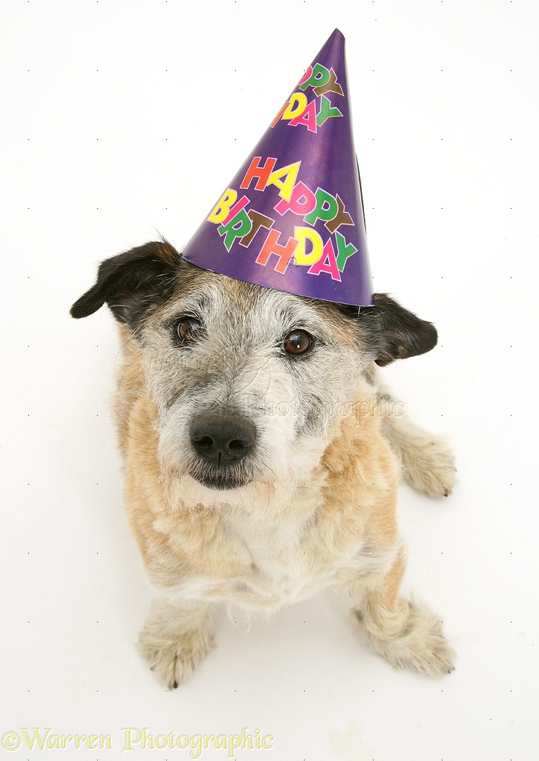 WP15216 Patterdale X Jack Russell Terrier Dog Jorge Wearing A Happy Birthday Hat