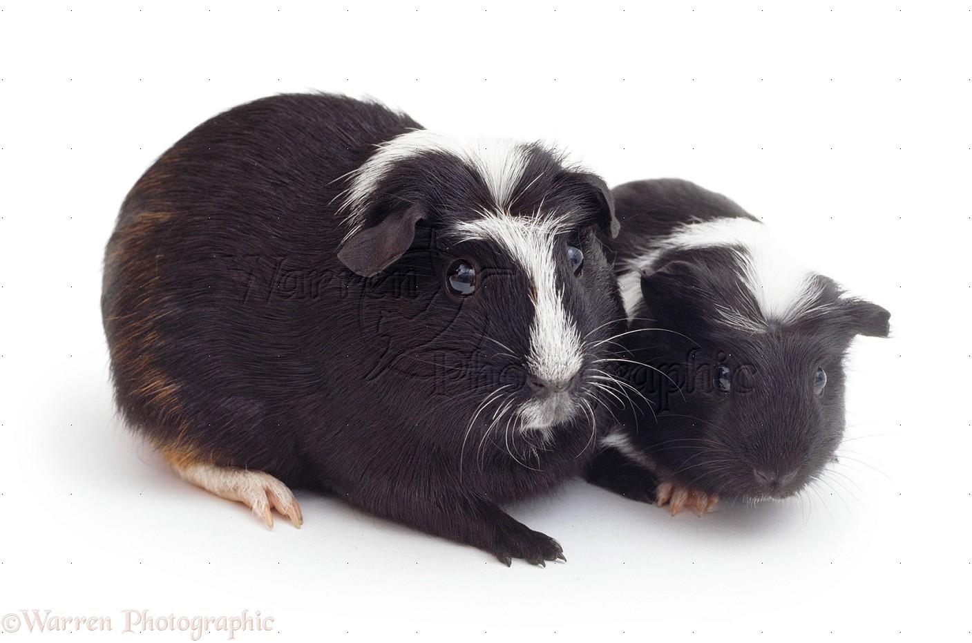 Crested guinea pig - photo#26