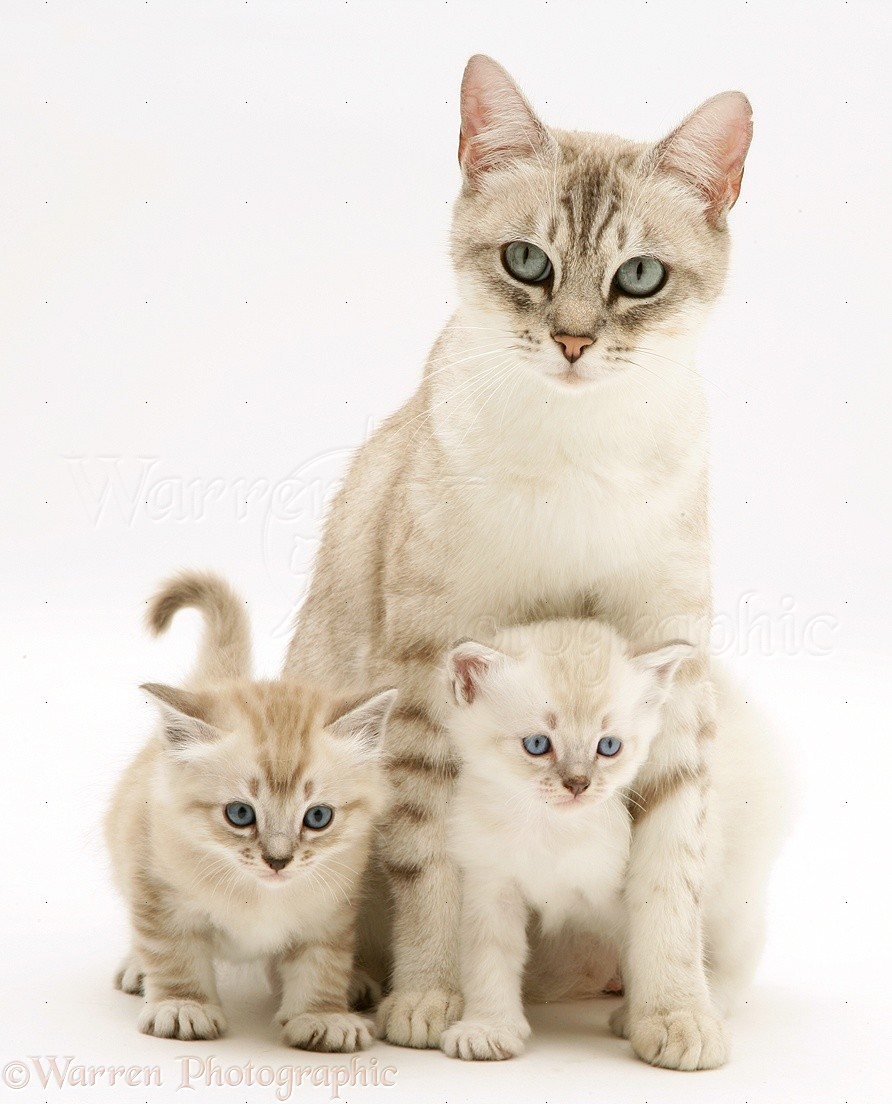 Birman cross mother cat and kittens photo WP
