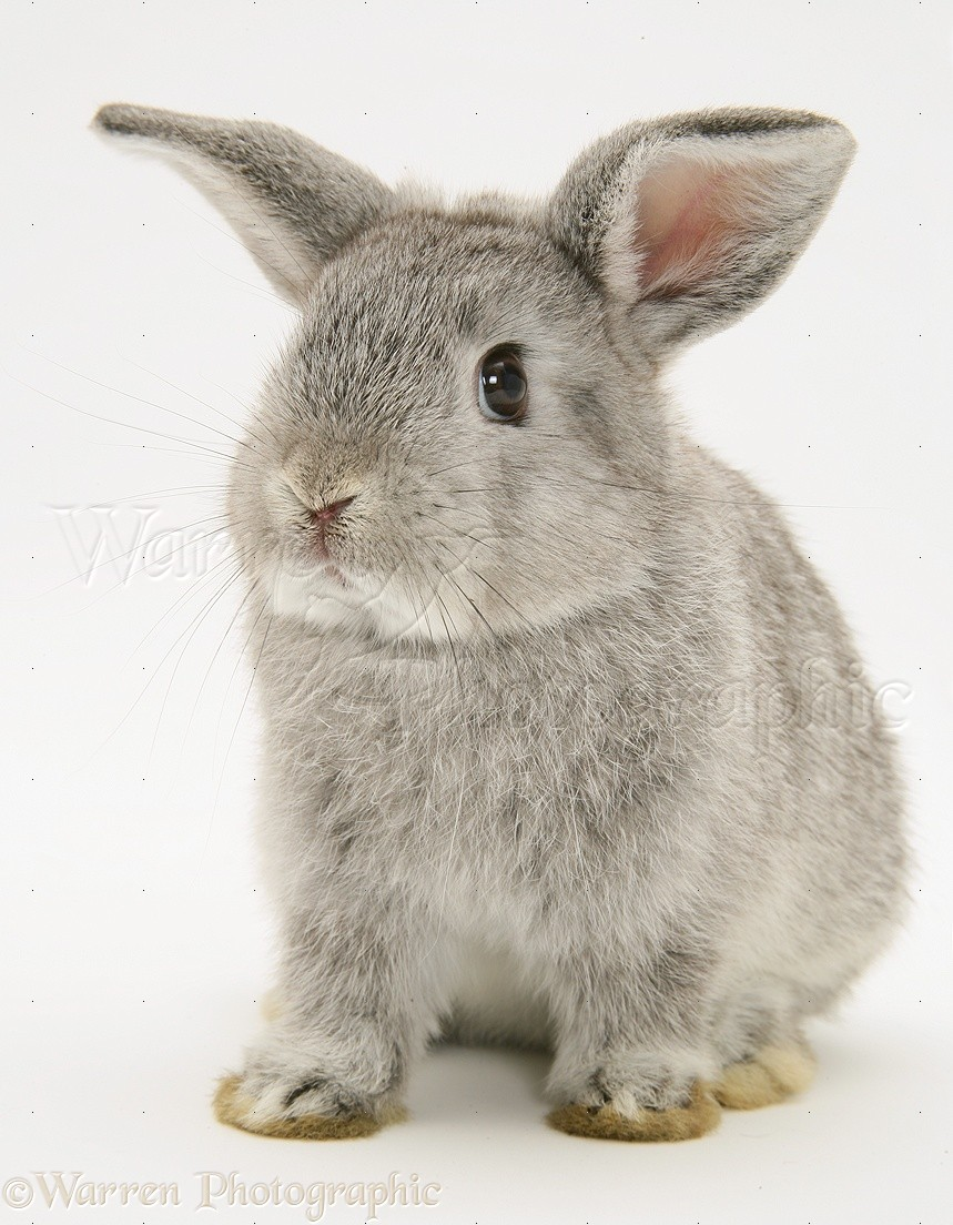 young silver lop rabbit photo   wp15308