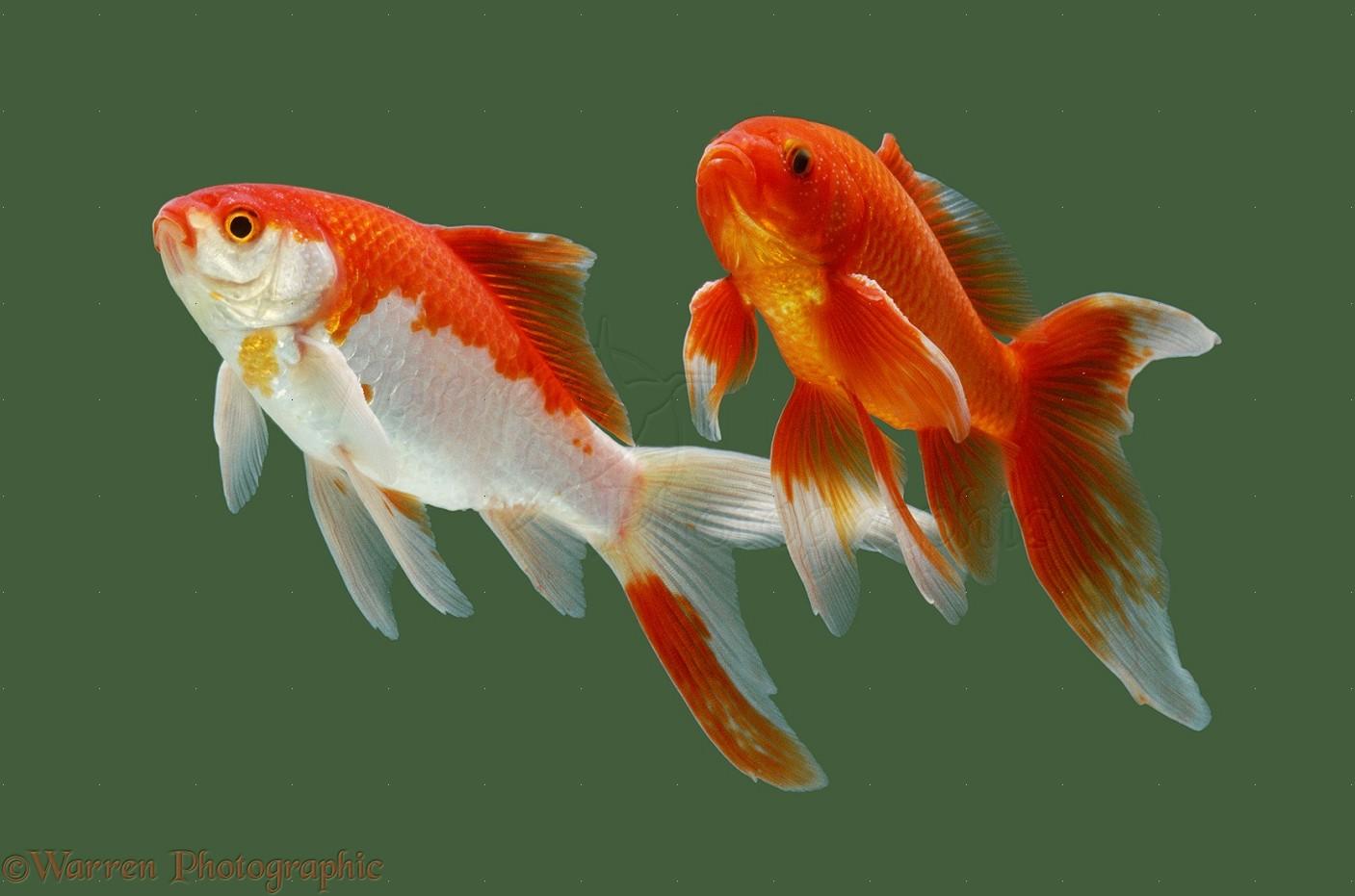 Goldfish photo wp15340 for Koi fish habitat