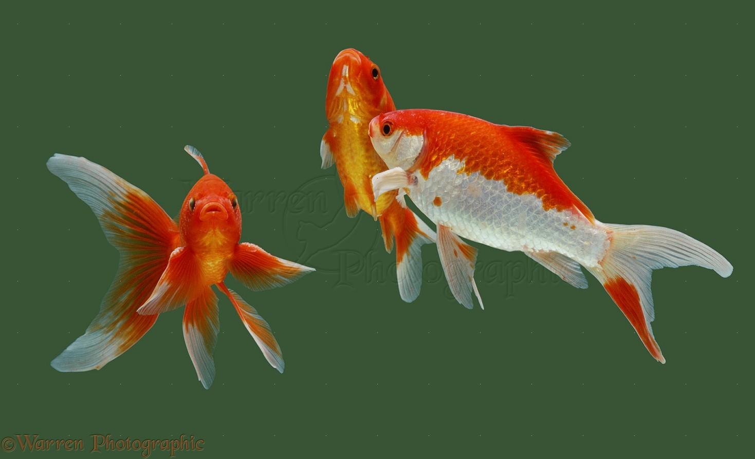 goldfish photo wp15341