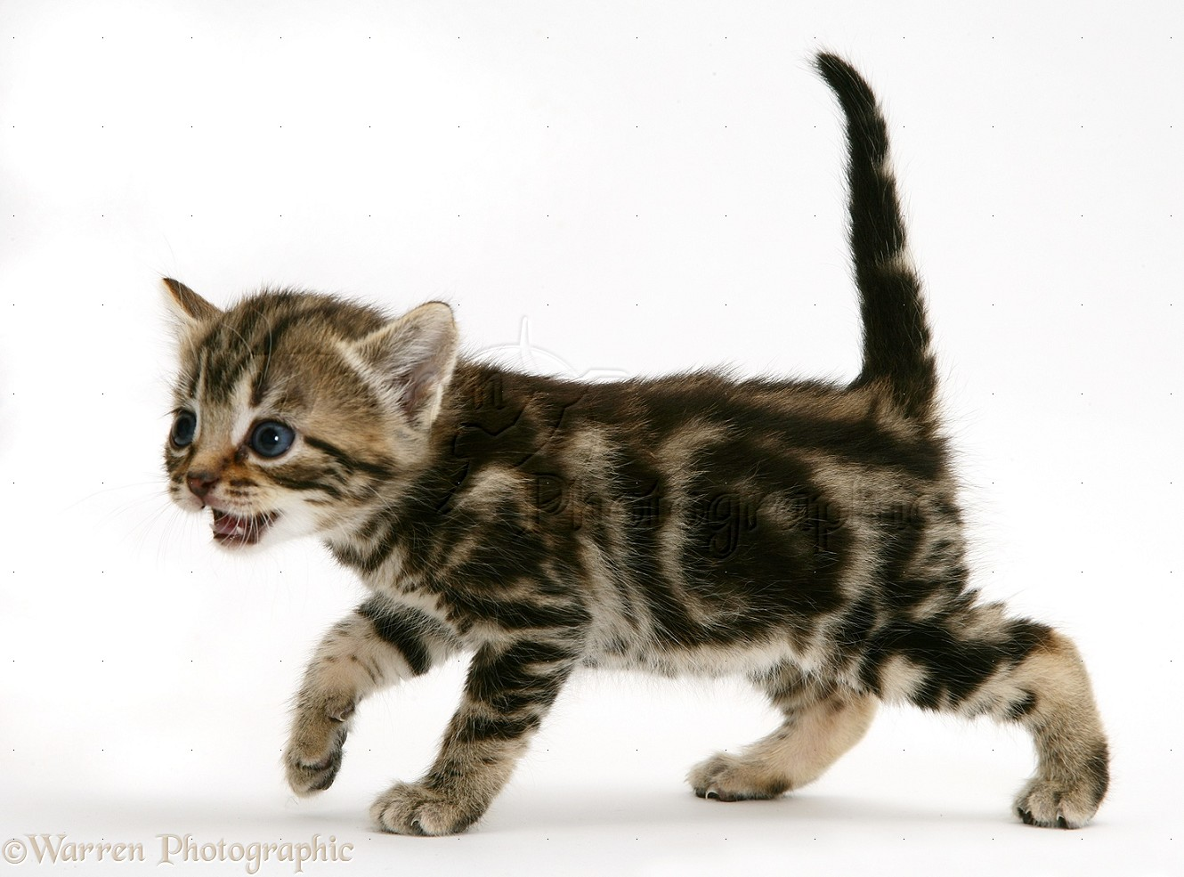 brown tabby kitten miaowing photo wp15361