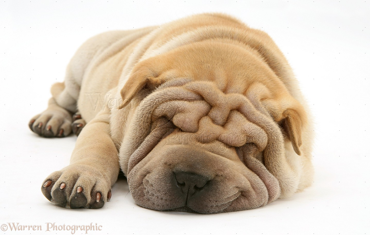 dog shar pei pup asleep photo wp15366