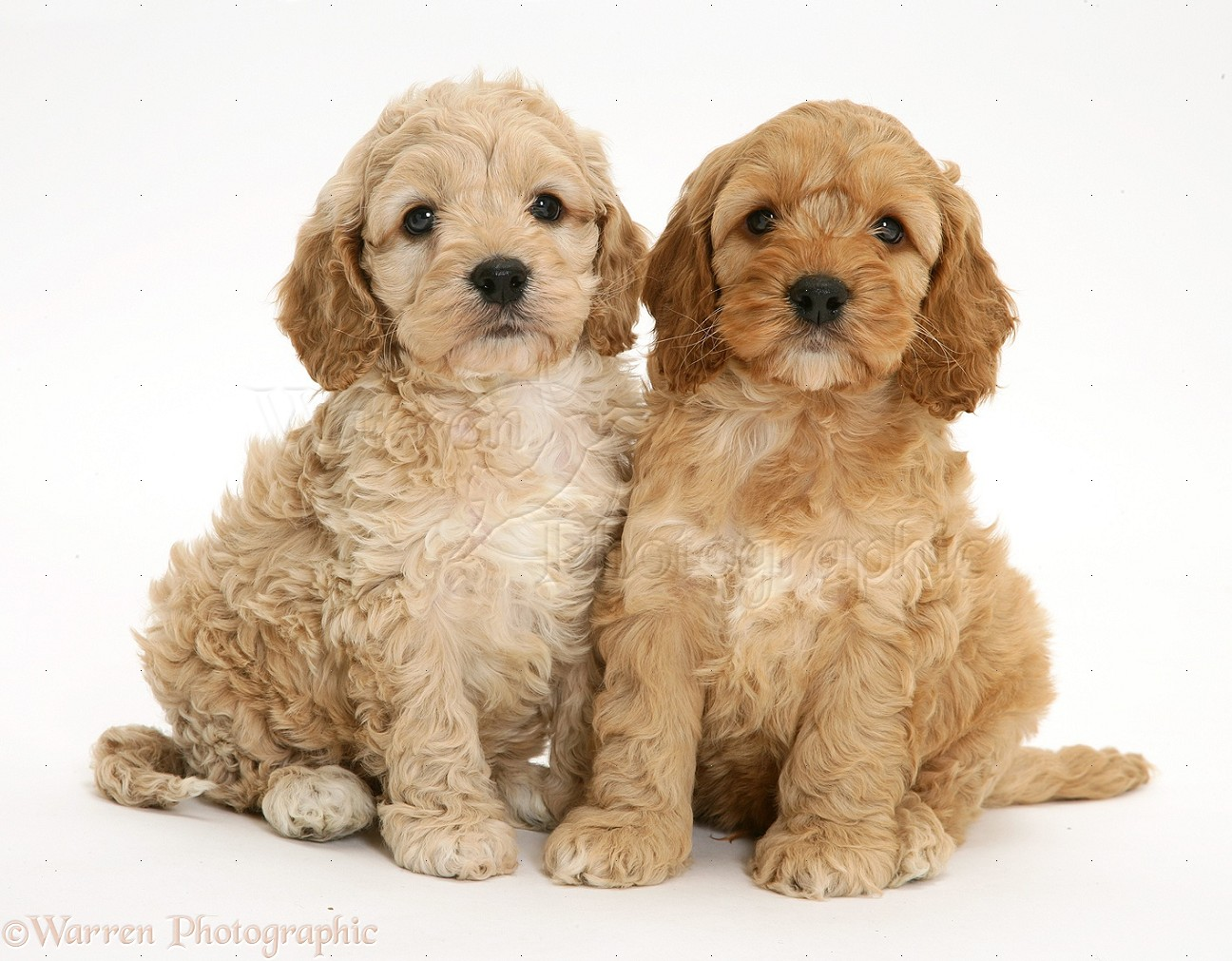 Dogs: Cockapoo puppies photo - WP15368