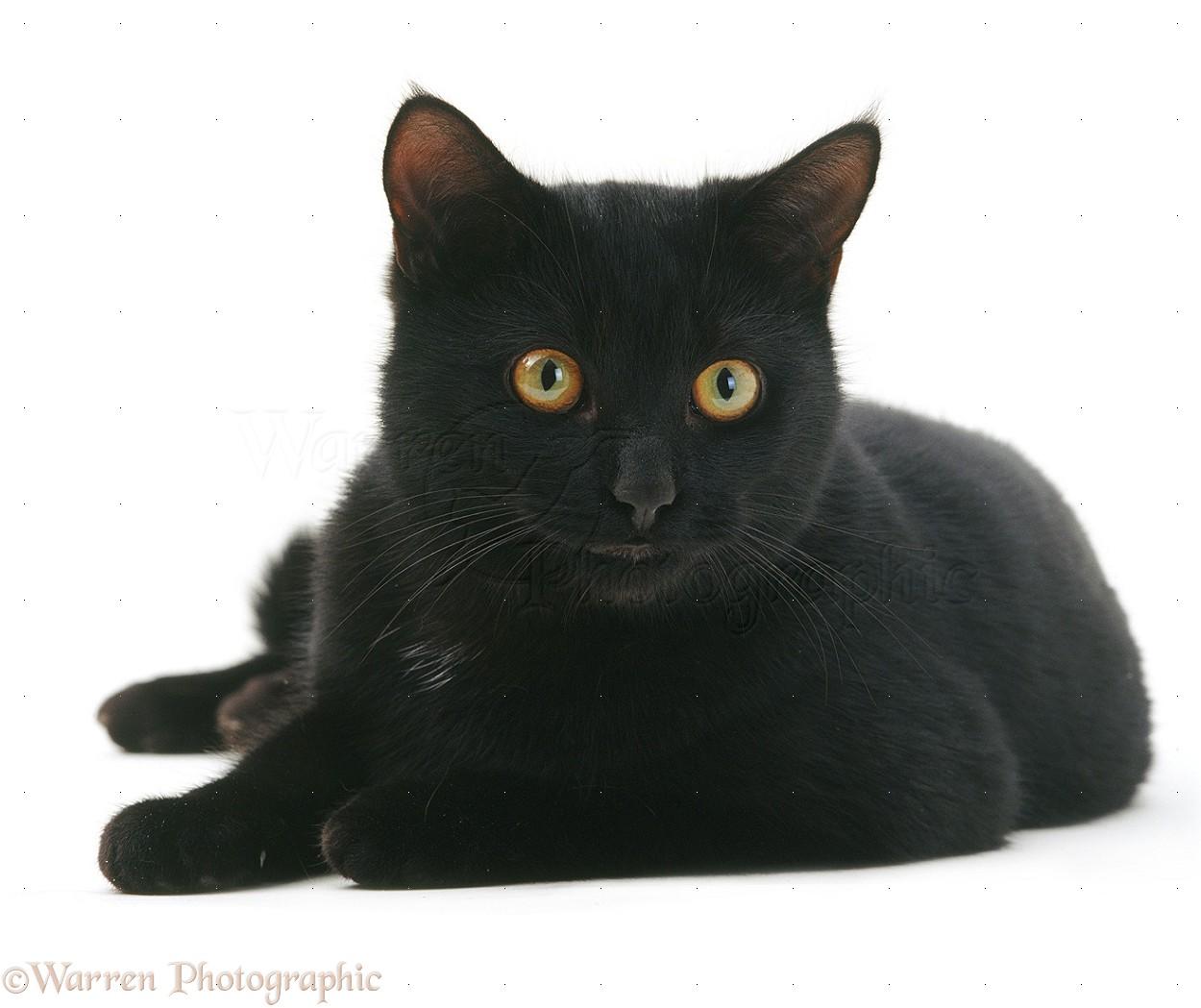 Black Male Cat Photo Wp15369