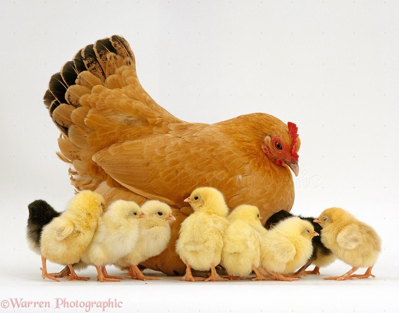 Buff Bantam Hen And Chicks Photo Wp15414