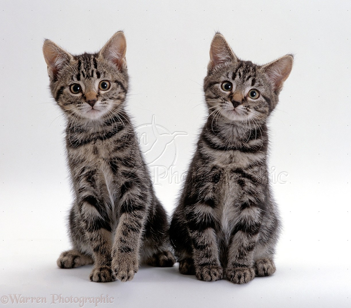 Two tabby kittens photo WP15506