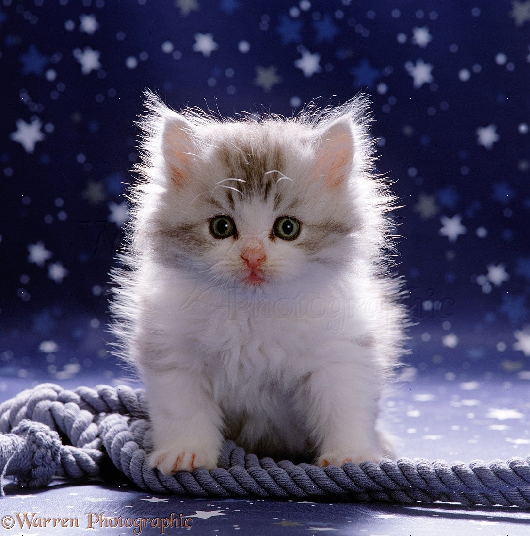 Cute fluffy silver and white kitten photo WP