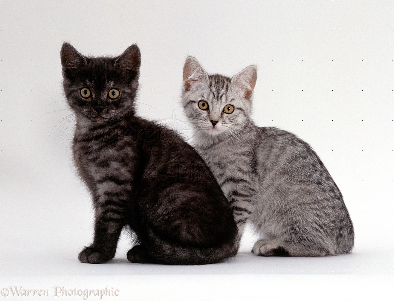 Auraclan cats 15532-Two-British-shorthair-smoke-and-silver-spotted-kittens-white-background