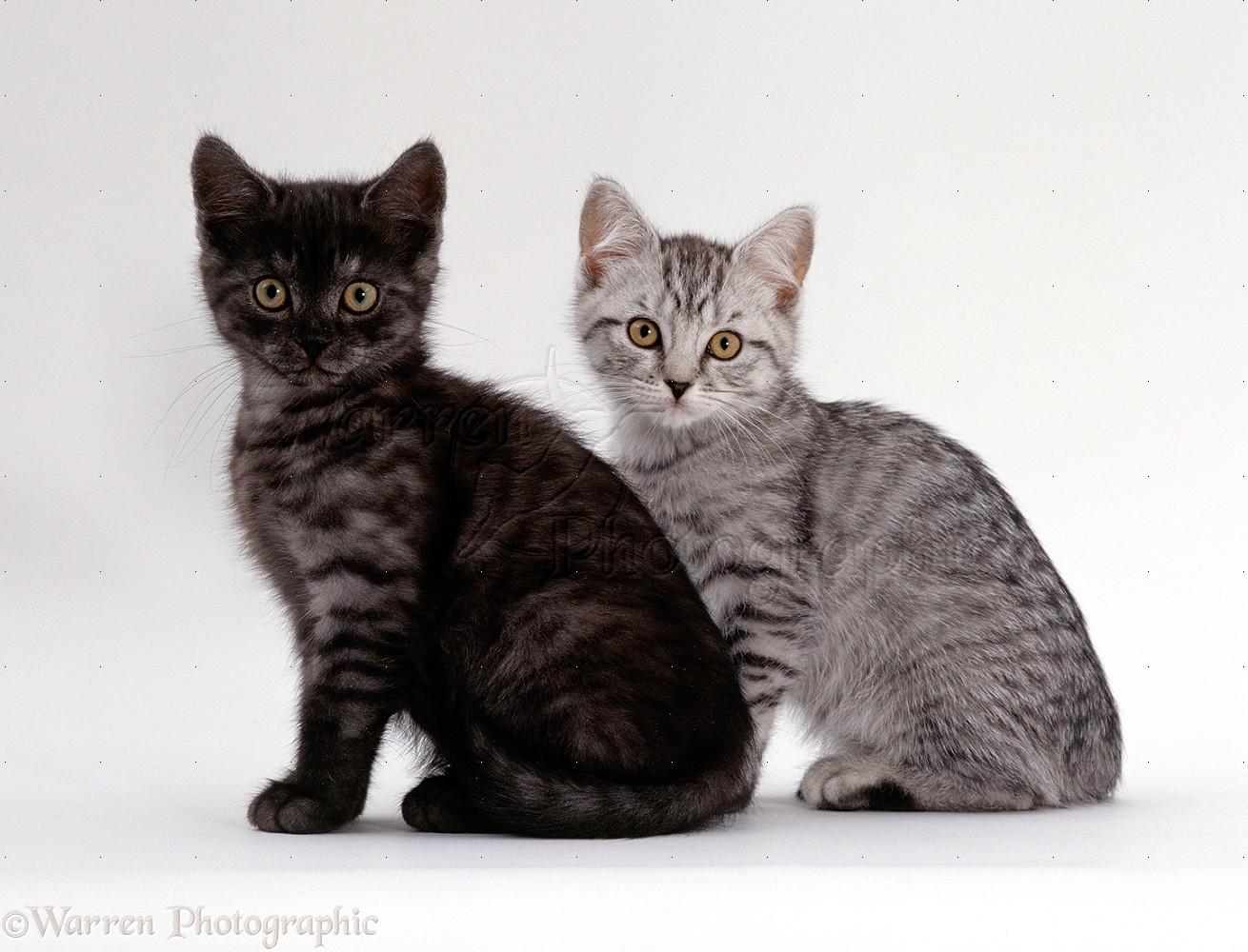 gronk kittens