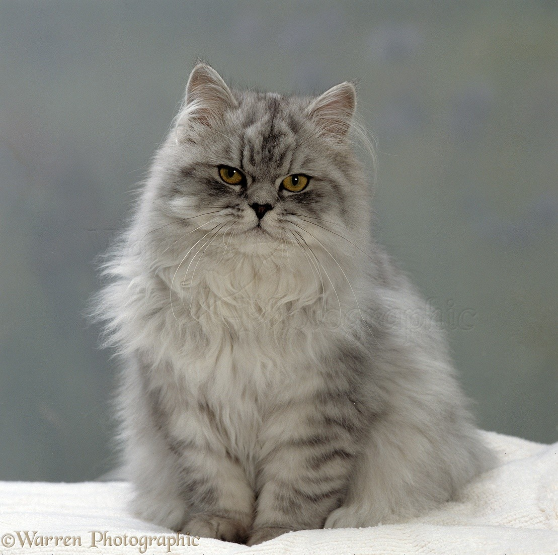 Chinchilla Persian cat photo WP