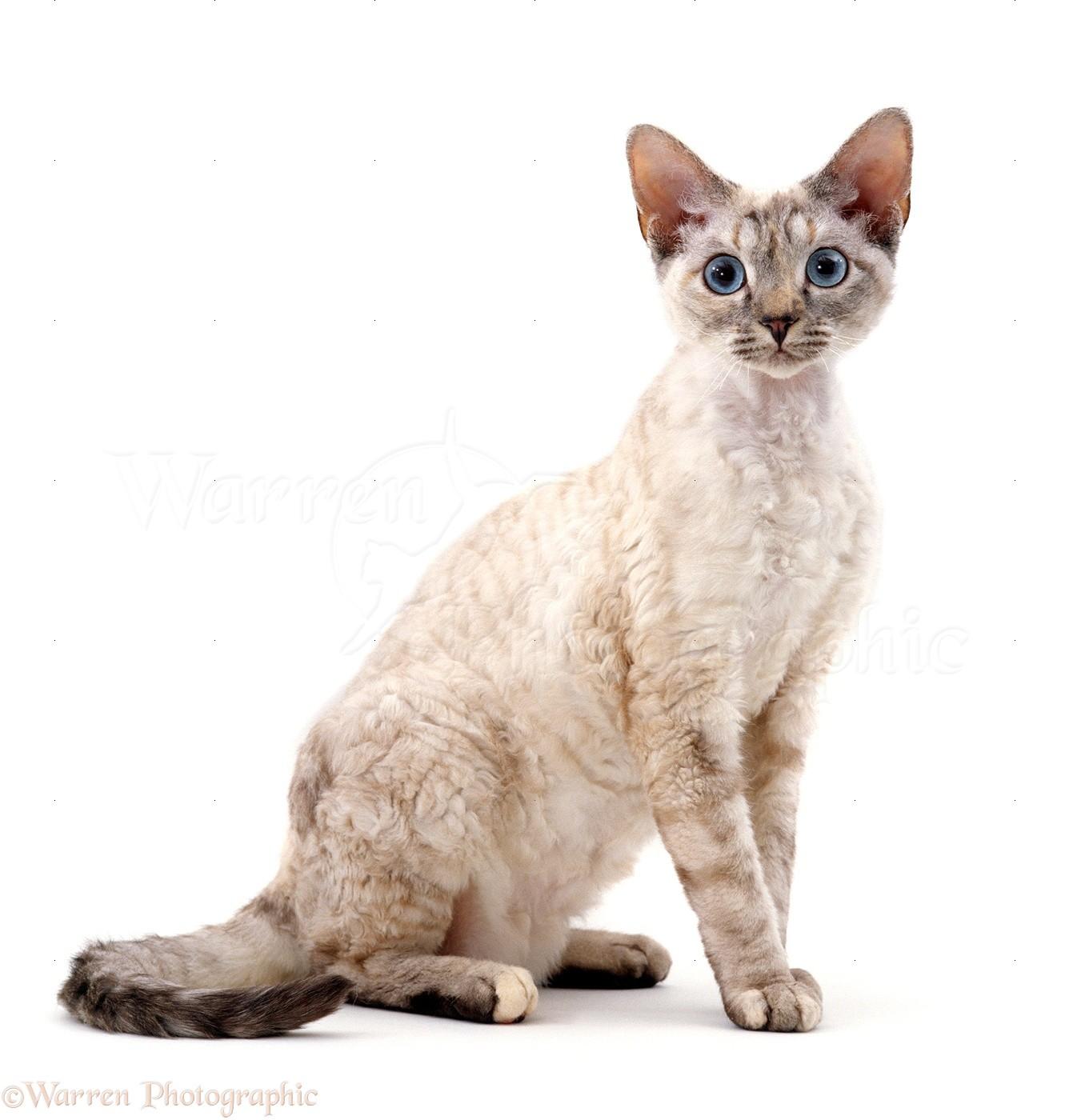 Devon Si Rex Female Cat Photo Wp15600