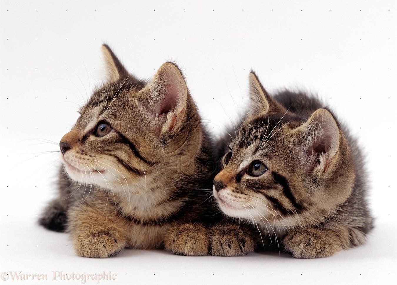 WP15610 Two Wild Cat ( Felis silvestris ) kittens, 9 weeks old.