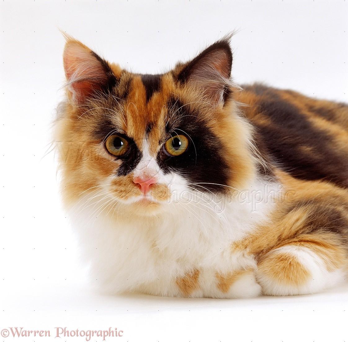Long Hiair Cat