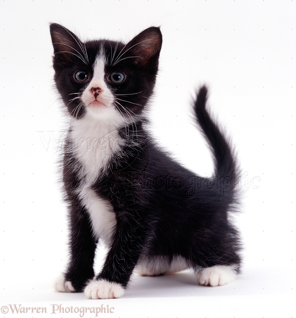 Image result for black and white kitten