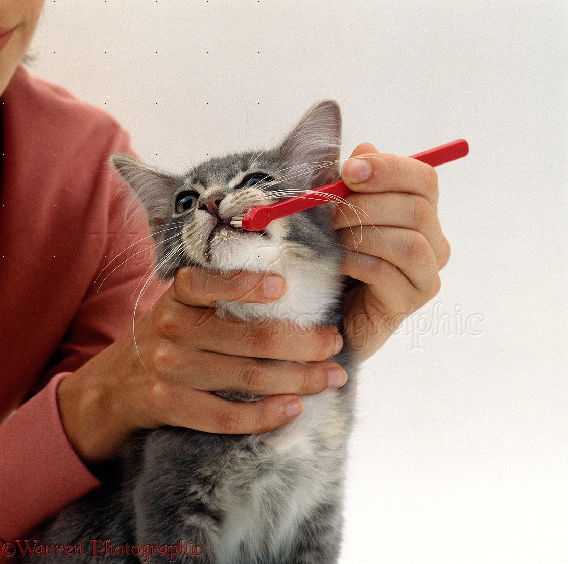cleaning the teeth of a kitten photo wp15738