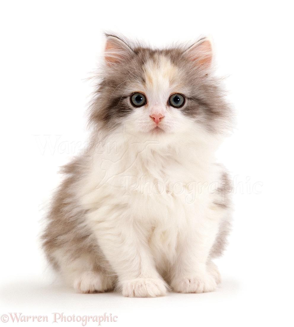 Cute fluffy silver tortoiseshell kitten photo WP